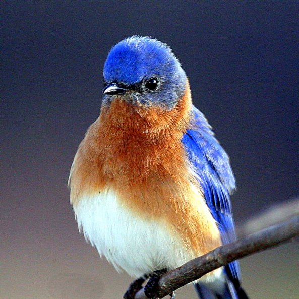 blue-bird-picture