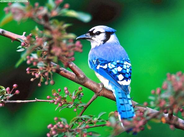 blue-jay-7