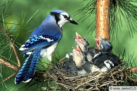 blue_jay_nestlings_1