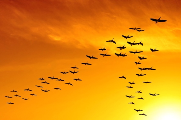 flock of migrating canada geese birds flying at sunset