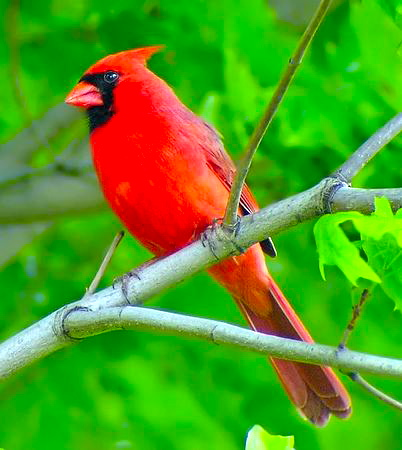 NorthernCardinal