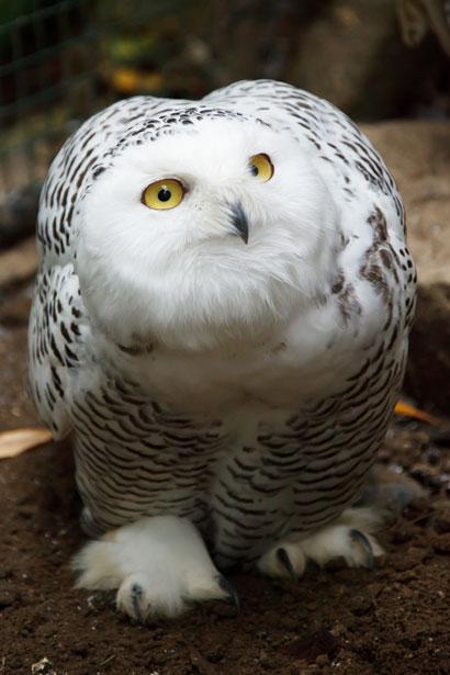 snowy-owl-11294429097AXe