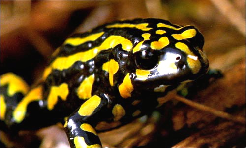 Yellow & Black Corroboree Frog