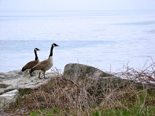 Canada Geese on the beach