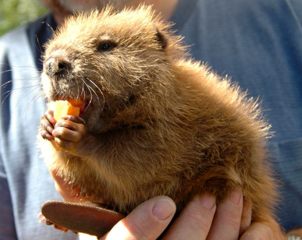 "Baby beaver ""kit"" eating a carrot (Martin Fakan)"