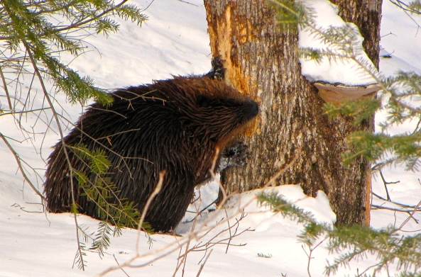 Beaver feeding in winter, Gatineau Park, Quebec (D.GordonE.Robertson)