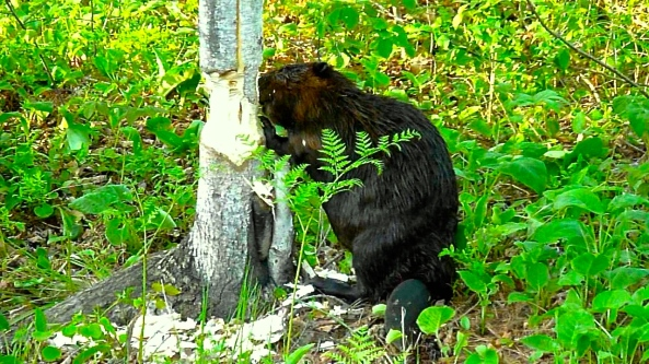 Beaver gnawing on a tree trunk - West Nipissing Ontario