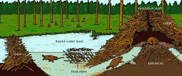 Beaver Lodge Construction
