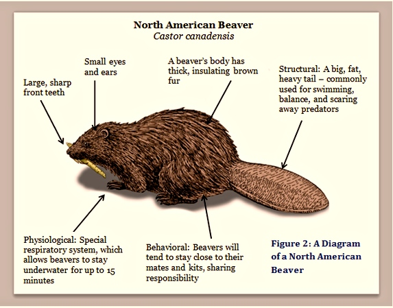 Diagram of North American Beaver
