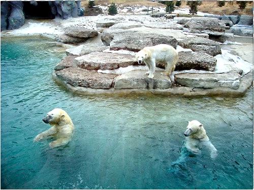 Polar Bears Toronto Zoo - Ontario