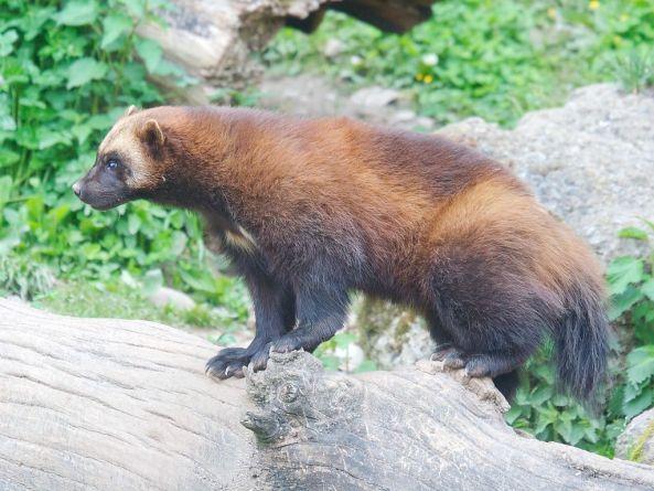 Wolverine (Matthias Kabel)