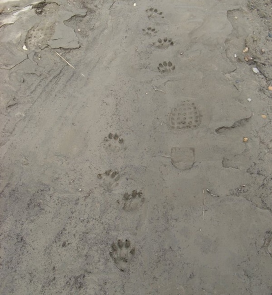 Wolverine Paw Tracks