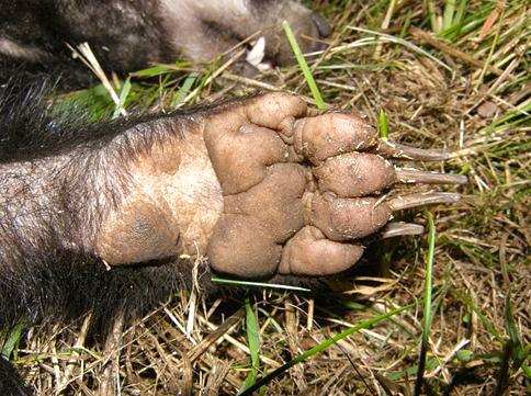 Badger paw