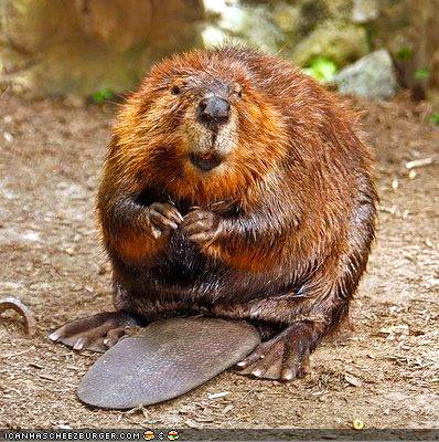 Beaver paws