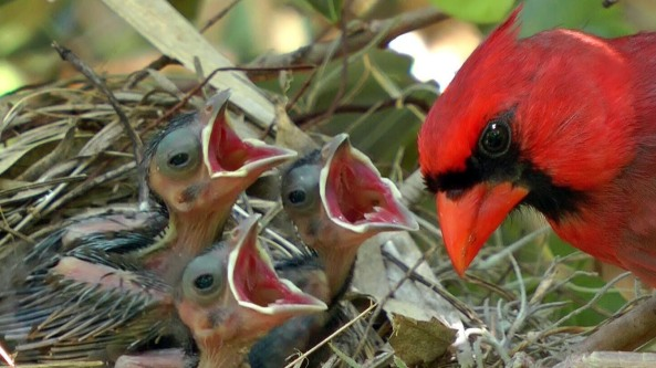 Cardinal feeding young (FrontYardVideo-Youtube)