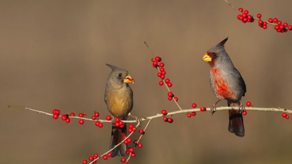 Cardinals-Berries