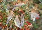 Cedar Waxwings love berries too (nextdoornature.org)
