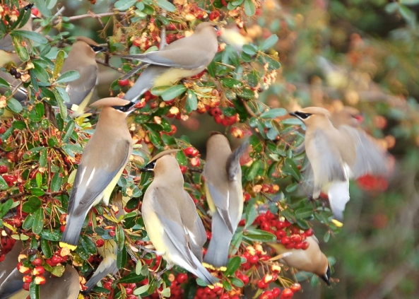 Cedar Waxwings love berries too (nextdoornature.org)