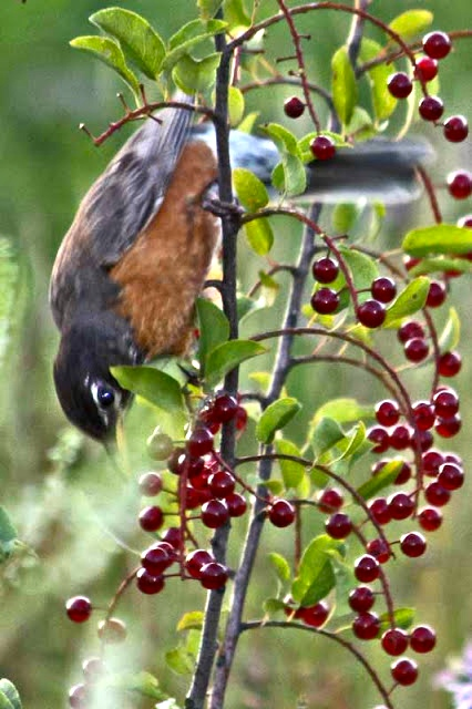 Robin eating berries (from East Gwillimbury Camera Girl)