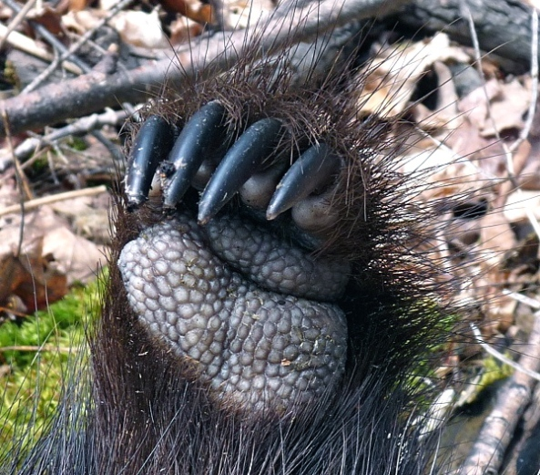 Porcupine paw