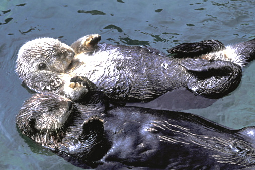 Sea Otter paws