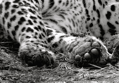 Snow Leopard paws