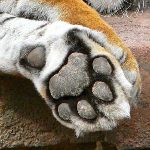 Tiger paws (amazon.com)