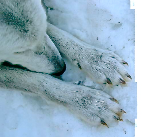 Wolf paws (www.animationsource.org)