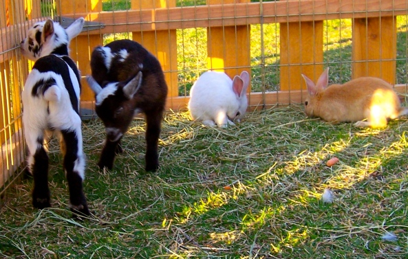 bunnies and goats