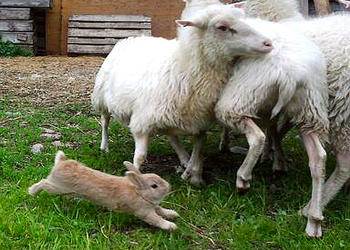 Bunny Champis herding his sheep