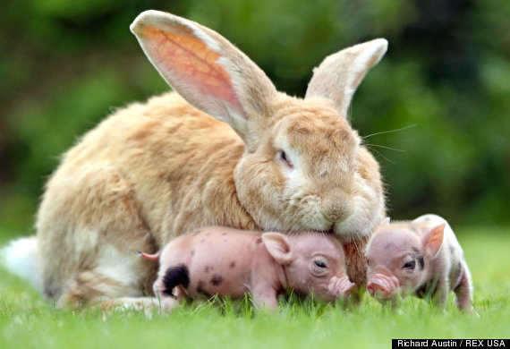 Bunny giant and pygmy pigs