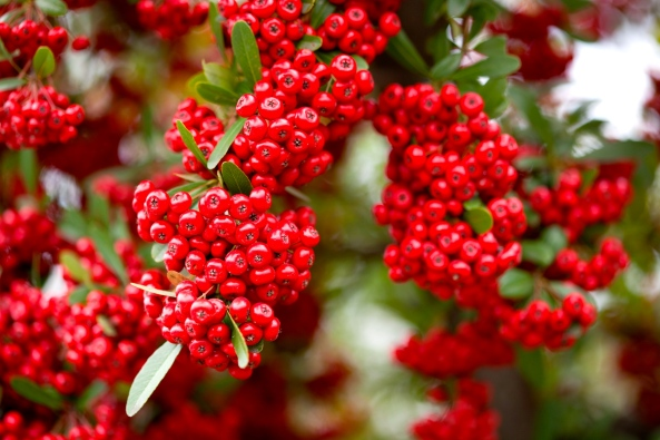 Firethorn berries