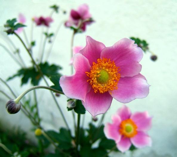 Japanese Anemone (Plantenance)