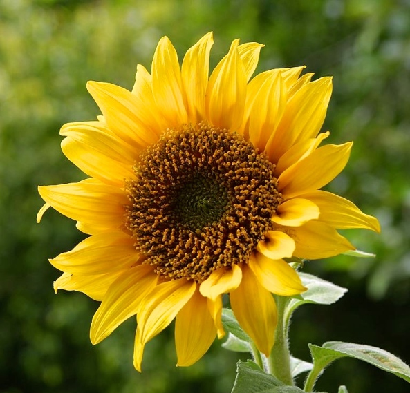 Sunflower (Plantenance)