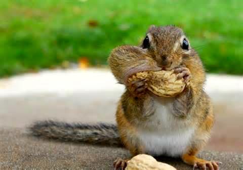 chipmunk pouch
