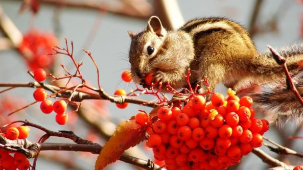 chipmunks-cartoon-chipmunk-eat-red-berries-online-154182