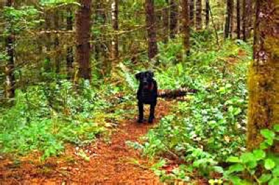 Lab on trail
