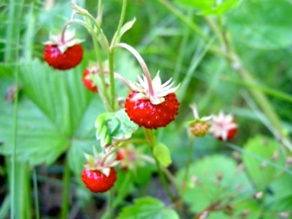 wild-strawberries1