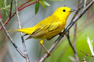 Yellow-Warbler-RolandJordahl