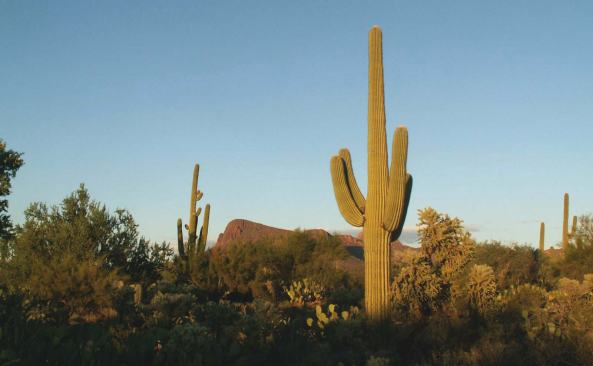 Saguaros, Arizona